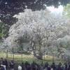 六義園しだれ桜ライブカメラ(東京都文京区本駒込)