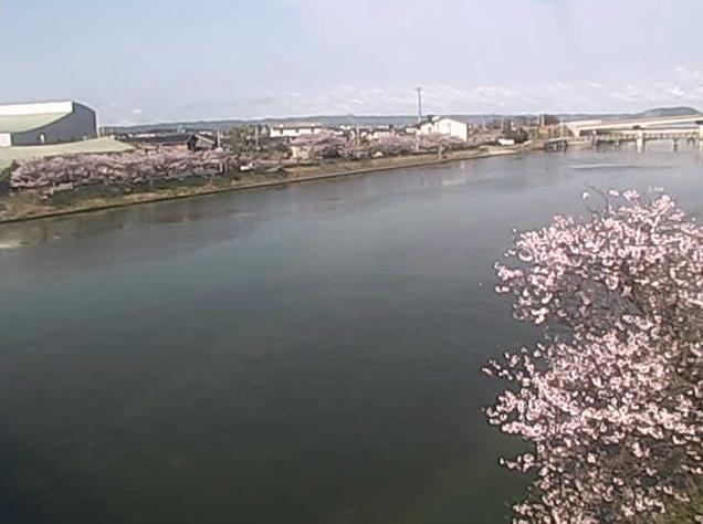 玉島川の桜