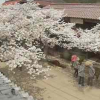 がいせん桜ライブカメラ(岡山県新庄村)