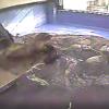 鳥羽水族館ミナミアフリカオットセイ(三重県鳥羽市鳥羽)