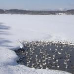 クッチャロ湖ハクチョウライブカメラ(北海道浜頓別町クッチャロ湖畔)
