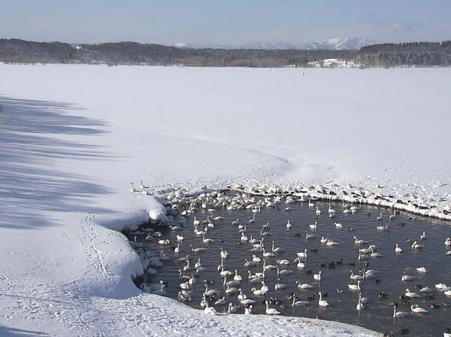 クッチャロ湖ハクチョウ
