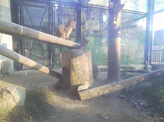 福岡市動物園ツシマヤマネコ