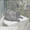 西表野生生物保護センターイリオモテヤマネコライブカメラ(沖縄県竹富町古見)