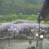黒木の大藤ライブカメラ(福岡県八女市黒木町)