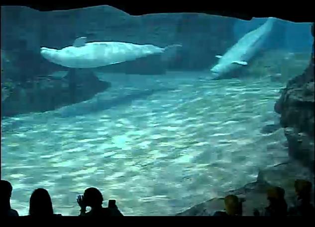 名古屋港水族館ベルーガプール
