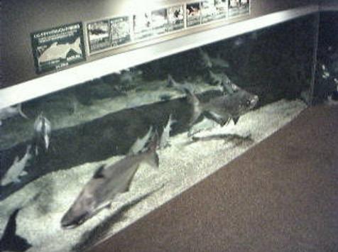 アクアトトぎふ2Fメンコオオナマズ水槽前からメンコオオナマズ