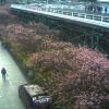 河津駅前桜並木ライブカメラ(静岡県河津町浜)