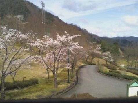 新温泉町健康公園の桜