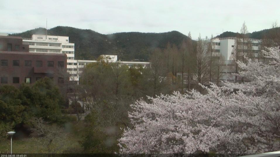 岐阜大学の桜