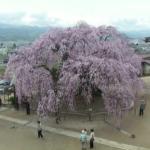 ICTV麻績の里舞台桜ライブカメラ(長野県飯田市座光寺)