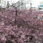 三浦海岸桜まつりライブカメラ(神奈川県三浦市南下浦町)