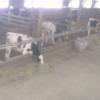 信州北白樺高原長門牧場牛舎ライブカメラ(長野県長和町大門)