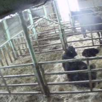 【停止中】木下牧場分娩舎第1ライブカメラ(滋賀県近江八幡市大中町)