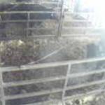 後藤牧場牛舎ライブカメラ(滋賀県近江八幡市大中町)