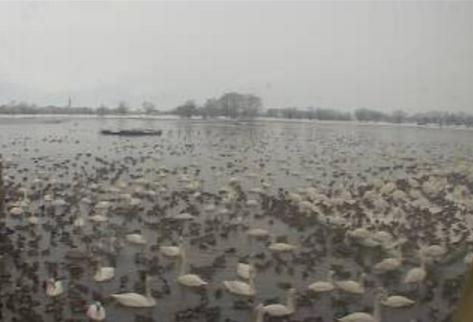 瓢湖から白鳥・渡り鳥