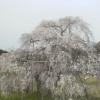 畑のしだれ桜ライブカメラ(滋賀県甲賀市信楽町)