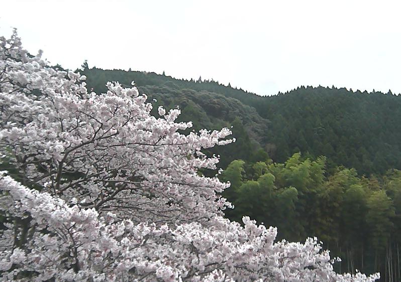 水上村役場の桜