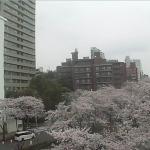 播磨坂さくら並木ライブカメラ(東京都文京区小石川)