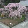 CC9太山寺しだれ桜ライブカメラ(栃木県栃木市平井町)