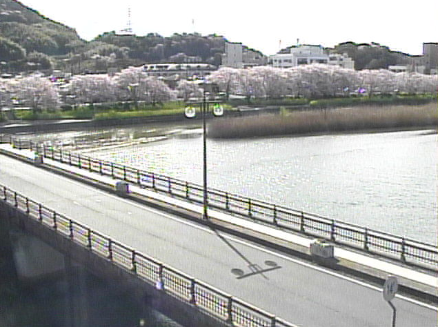 島田川の桜