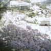 千光寺桜ライブカメラ(広島県尾道市東土堂町)