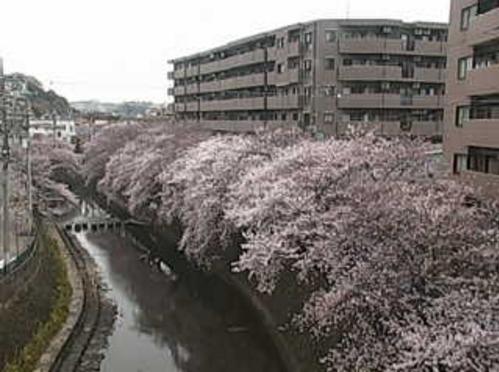大岡川桜並木