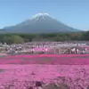 富士芝桜まつりライブカメラ(山梨県富士河口湖町本栖)