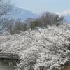 咲くライブ国宝松本城の桜ライブカメラ(長野県松本市丸の内)