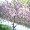 大本山中山寺八重桜ライブカメラ(兵庫県宝塚市中山寺)