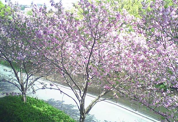 大本山中山寺八重桜