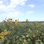 ひまわり村ひまわり畑ライブカメラ(石川県津幡町湖東)