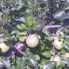 かねさく果樹園ライブカメラ(秋田県横手市平鹿町)