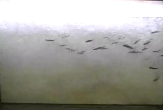 利根大堰魚道鮎遡上ライブカメラは、埼玉県行田市須加の利根大堰に設置された鮎遡上(アユ遡上)が見えるライブカメラです。