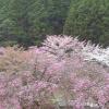 あきつの小野公園桜ライブカメラ(奈良県川上村西河)