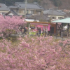 河津桜まつり笹原公園メイン会場ライブカメラ(静岡県河津町谷津) YouTube