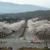 富士霊園桜並木ライブカメラ(静岡県小山町大御神)