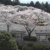 富士霊園第1ロータリー桜ライブカメラ(静岡県小山町大御神)