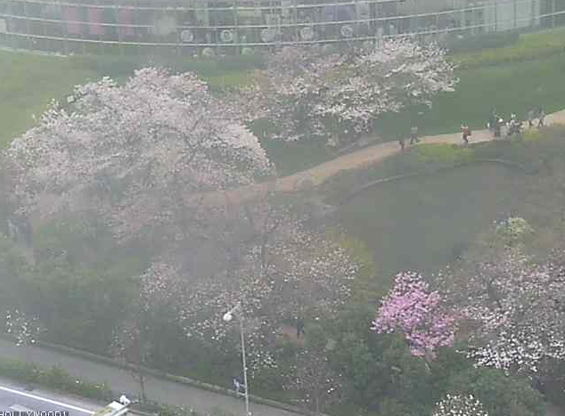 毛利庭園の桜