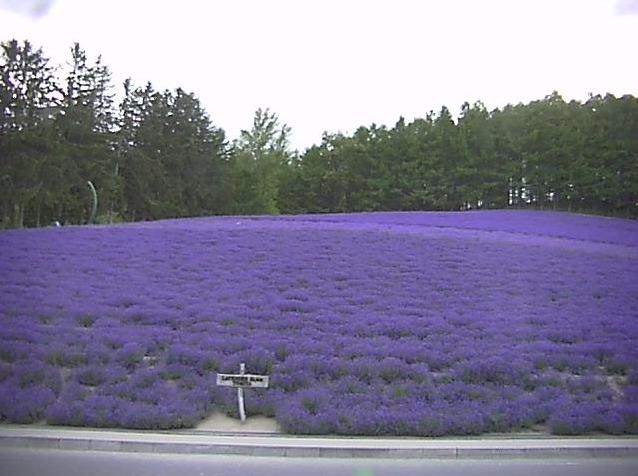 ファーム富田トラディショナルラベンダー畑ライブカメラ(北海道中富良野町)