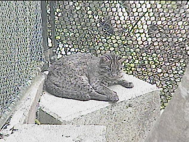 西表野生生物保護センターのイリオモテヤマネコ