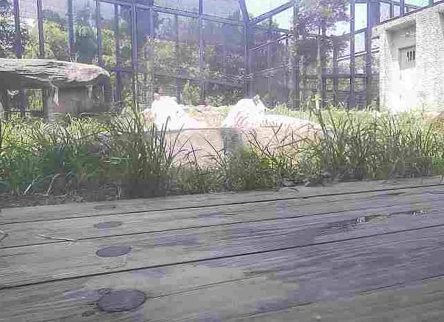 平川動物公園ホワイトタイガー