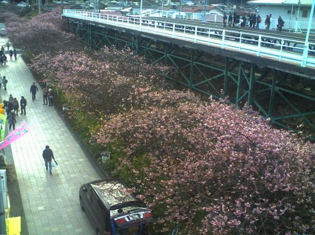 河津駅前桜並木