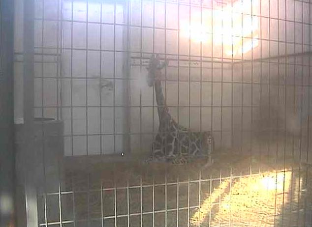 茶臼山動物園キリン