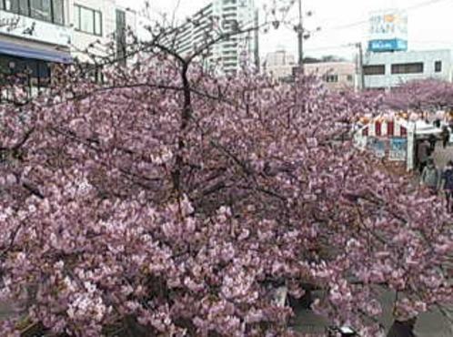 三浦海岸駅前河津桜開花状況ライブカメラ(神奈川県三浦市南下浦町)