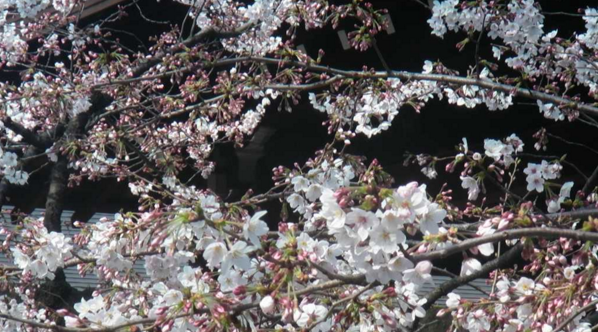 靖国神社から桜(ソメイヨシノ)