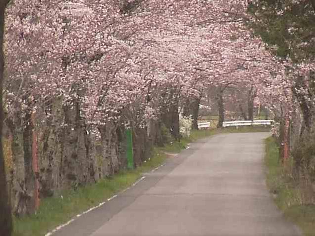 太平山遊覧道路桜のトンネル