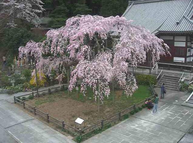 太山寺しだれ桜