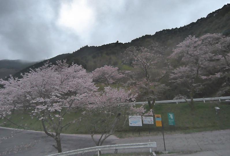 汗の原親水公園桜