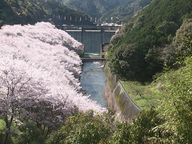 島ノ瀬ダムの桜